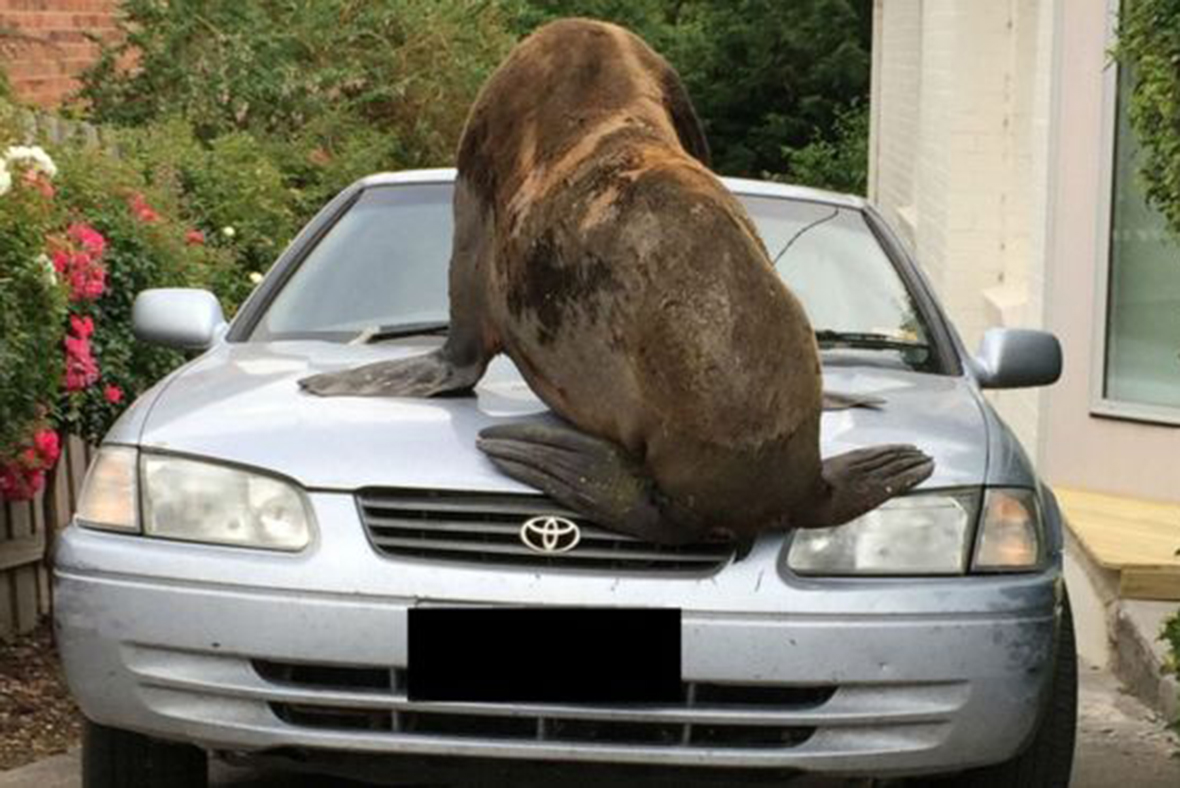Massive Seal Wanders Into Australian Suburb and Onto Parked Car