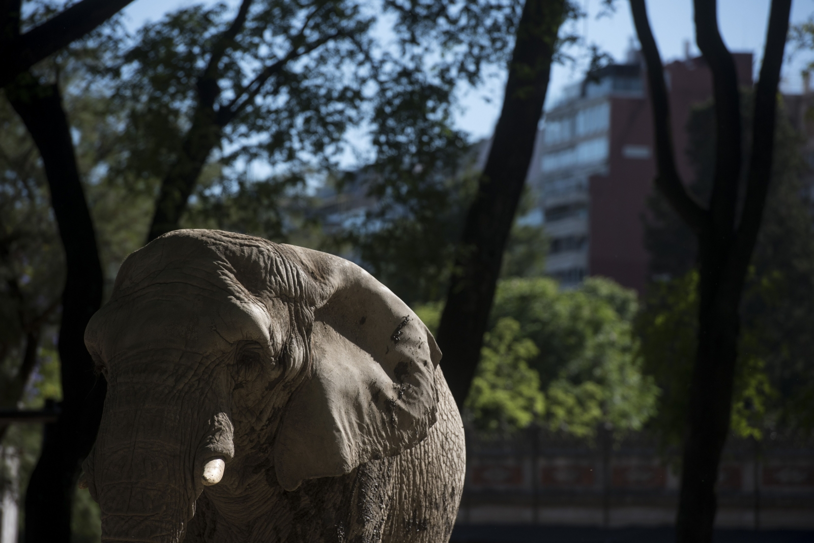 Asian elephant in Buenos Aires