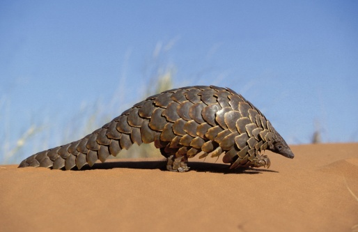 pangolin threatened