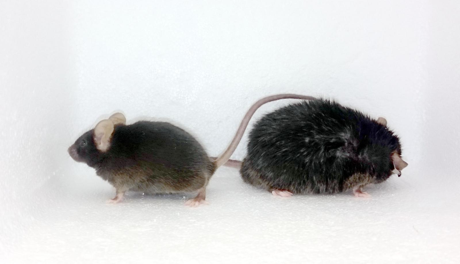 mice obesity