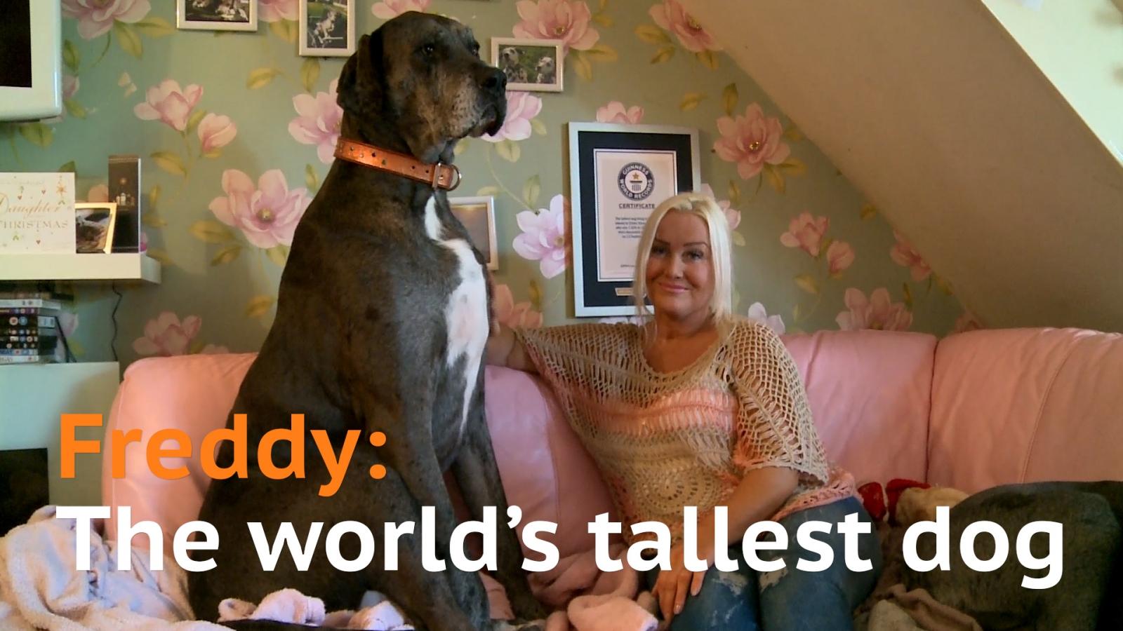 World's tallest dog Freddy