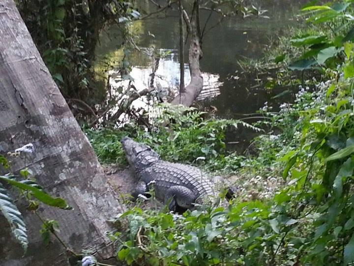 Crocodile that bit French woman