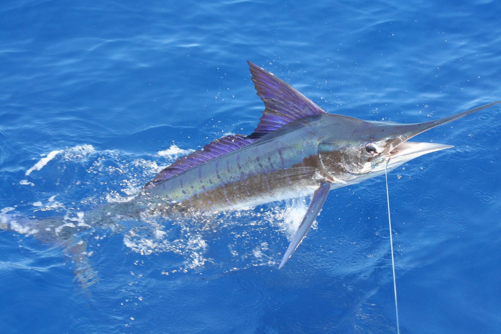 Marlin on fishing line