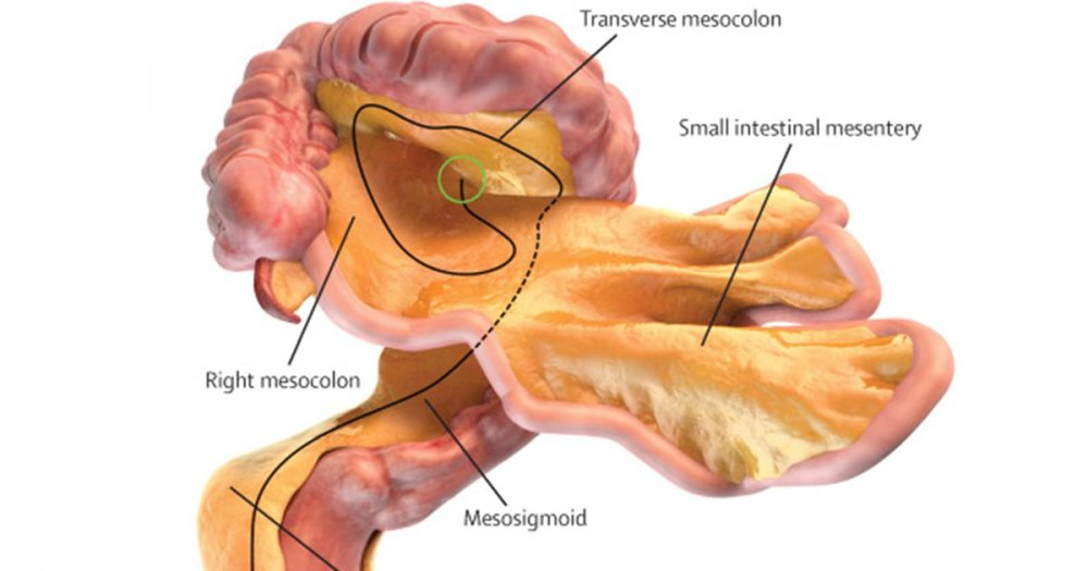 What is the mesentery? Doctors discover new organ in human body ...