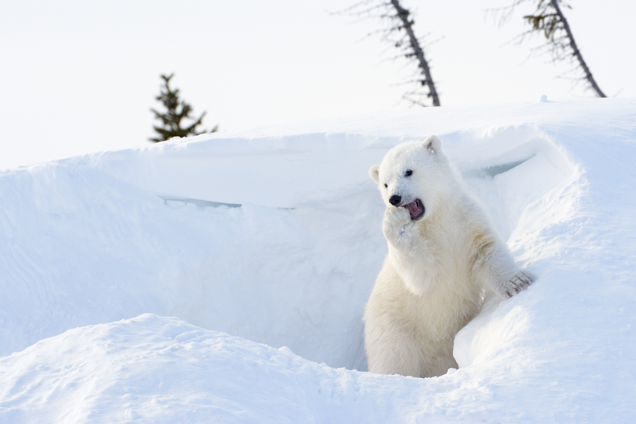 polar bears are threatened by global warming should subsistence