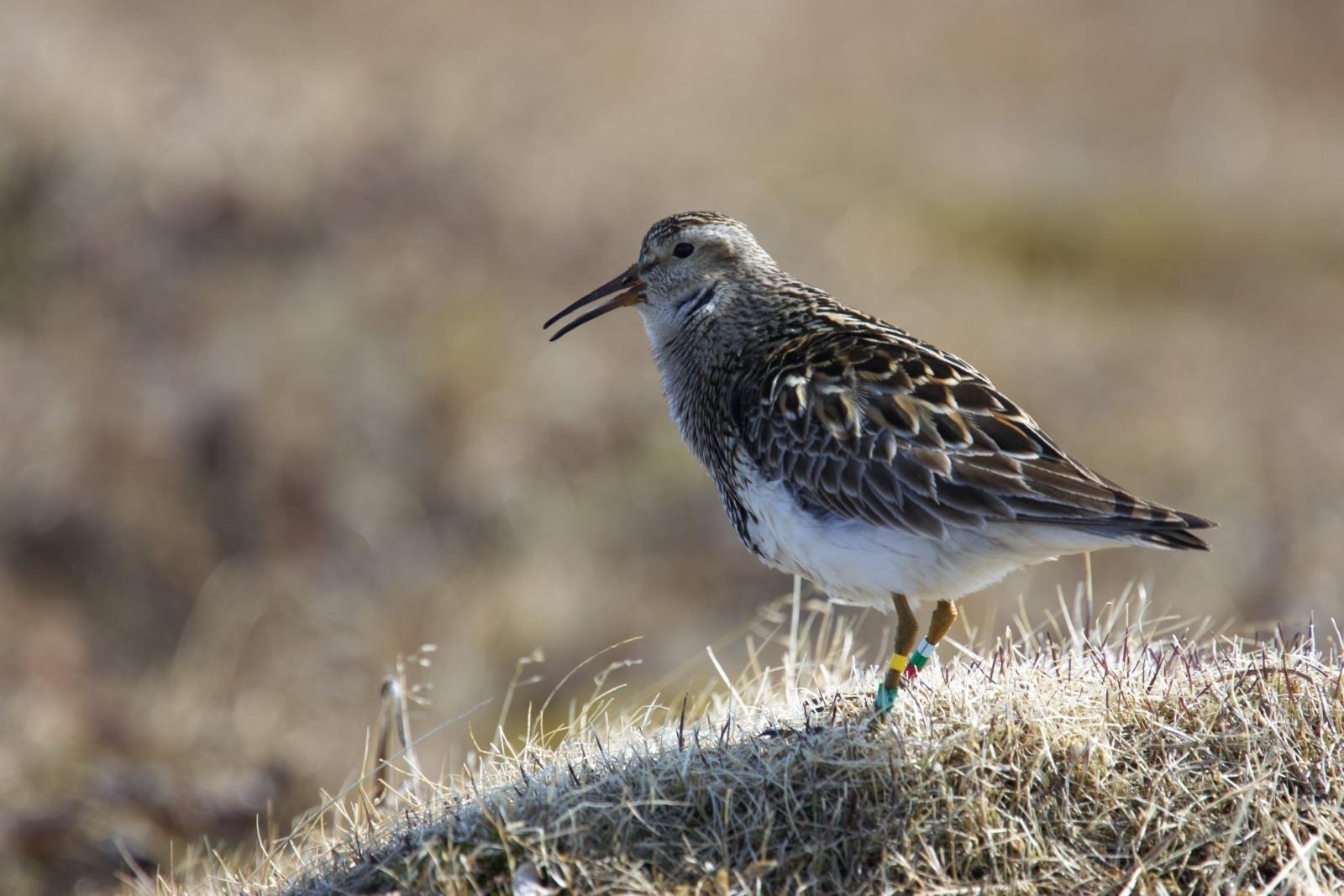 migratory bird reproduction