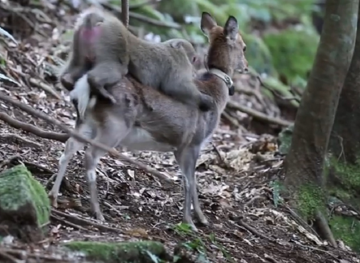 monkey sex deer