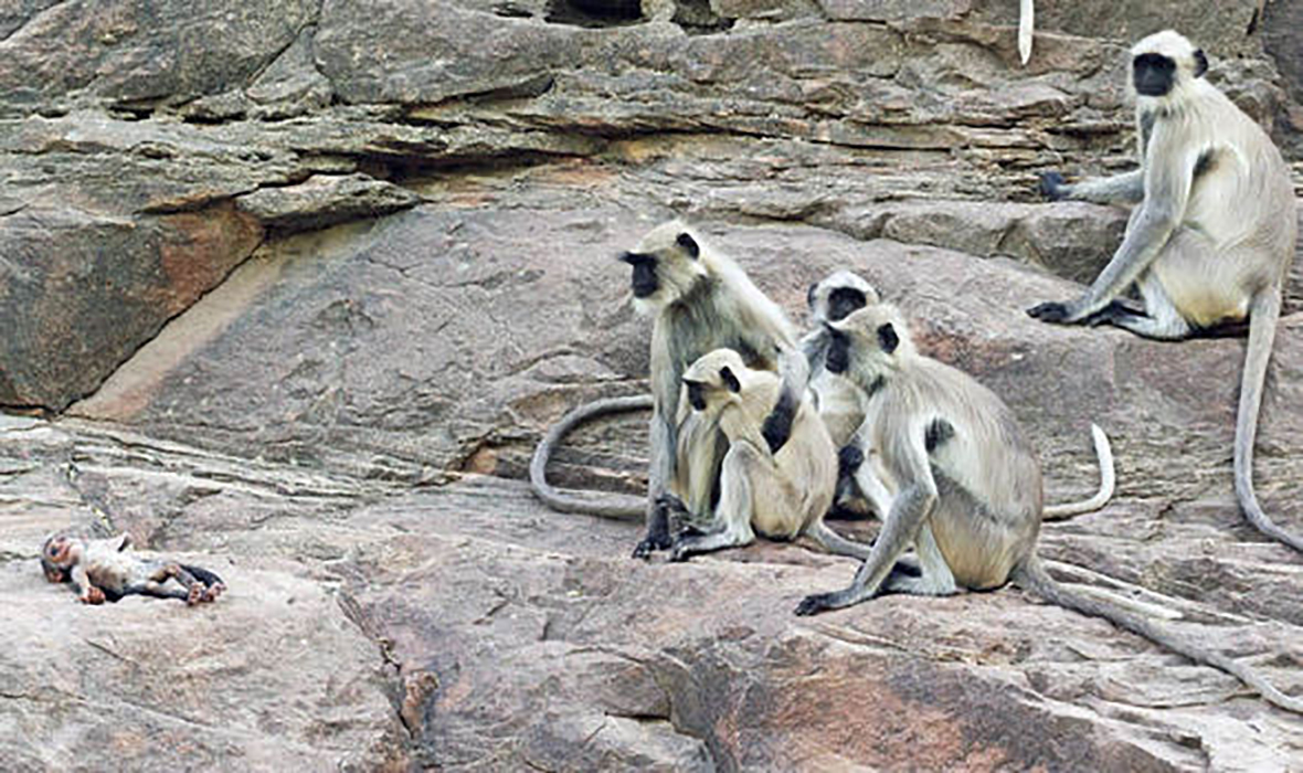 Monkeys mourn 'dead' robot 2 hours ago