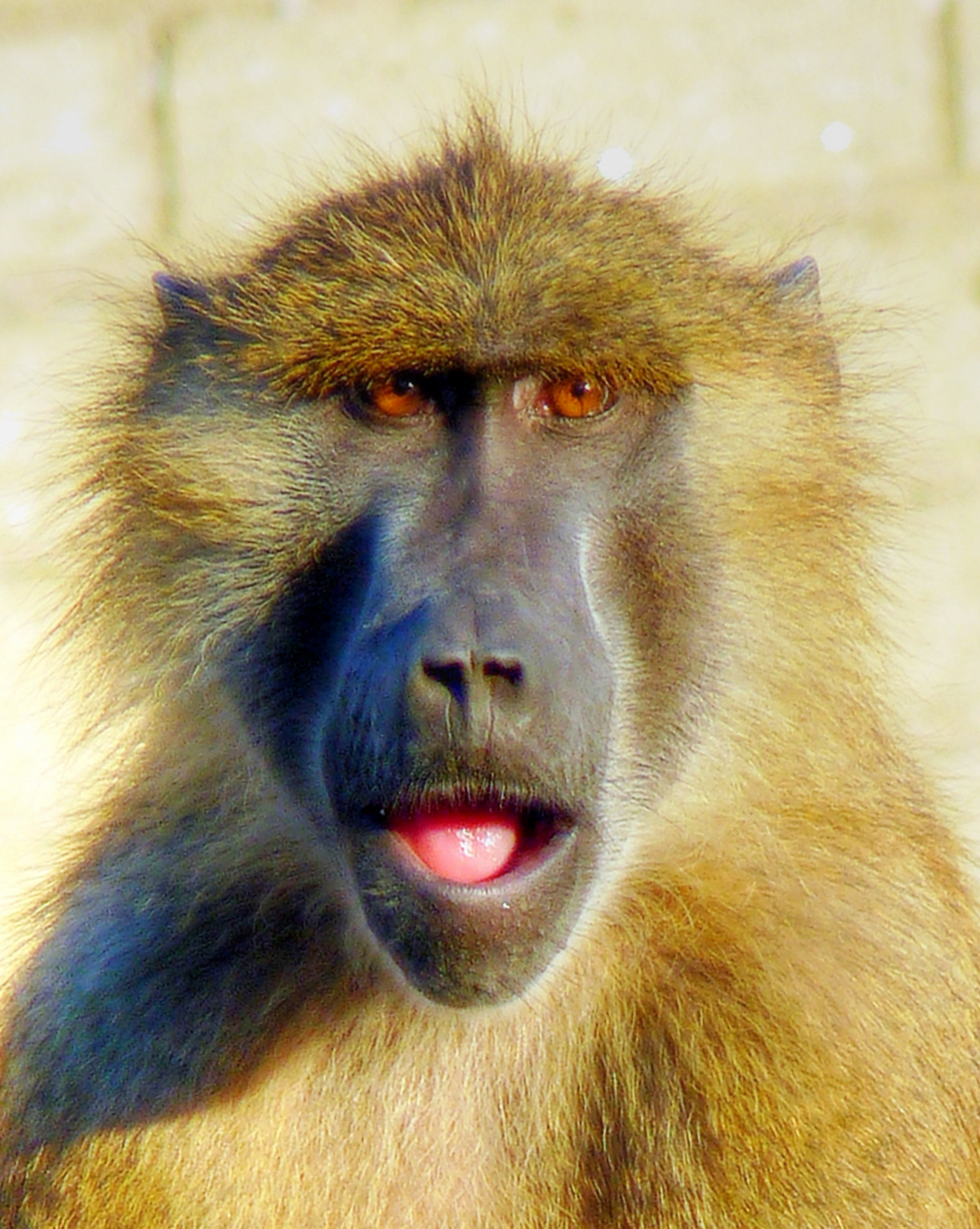 Baboons Vocalizations Hint at Origins of Human Speech