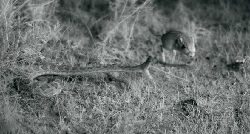viper strike rat slow motion