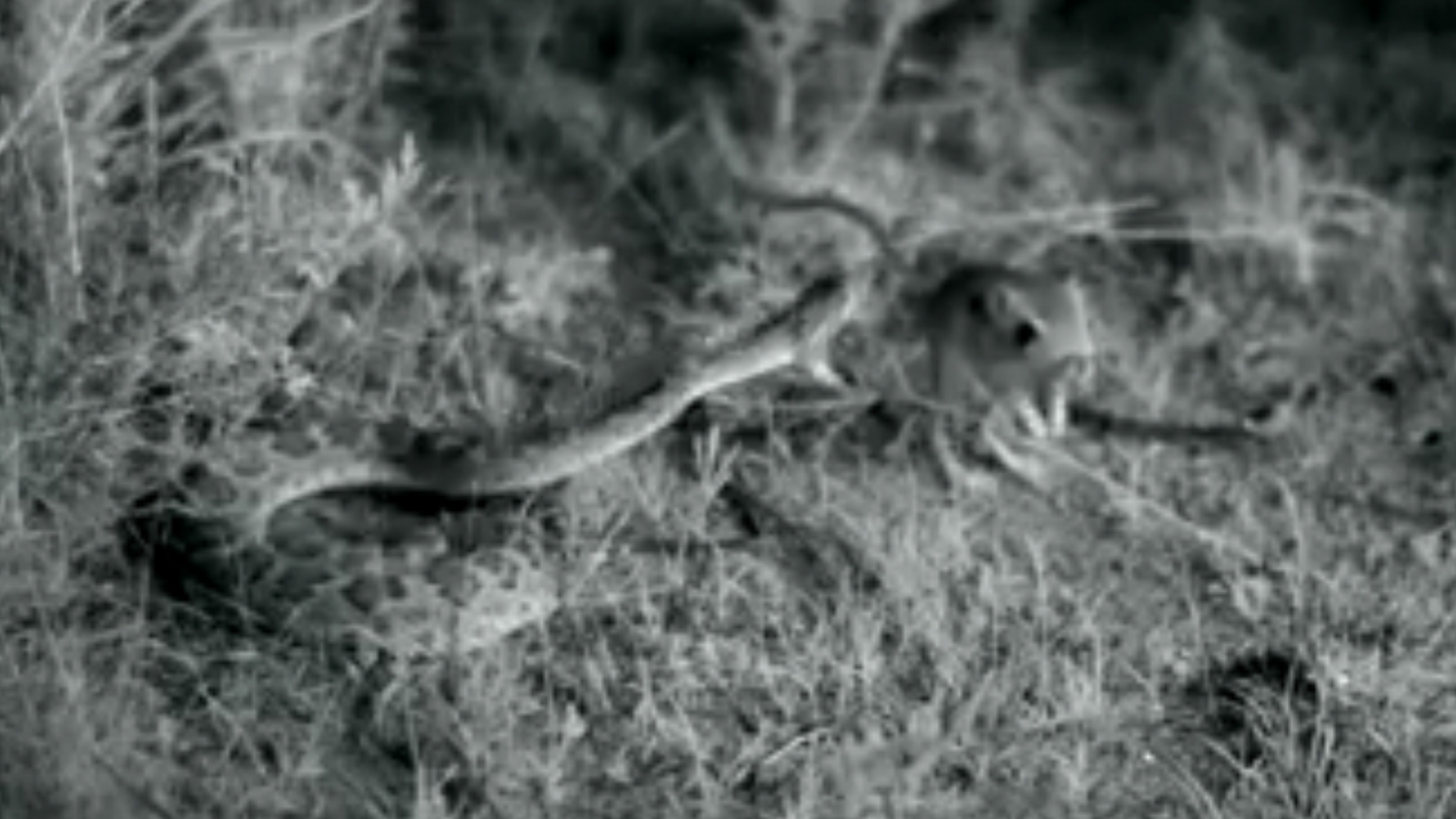 High-speed viper strike caught on camera at 500 frames per second