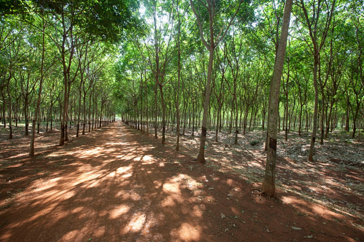 rubber plantation Cambodia