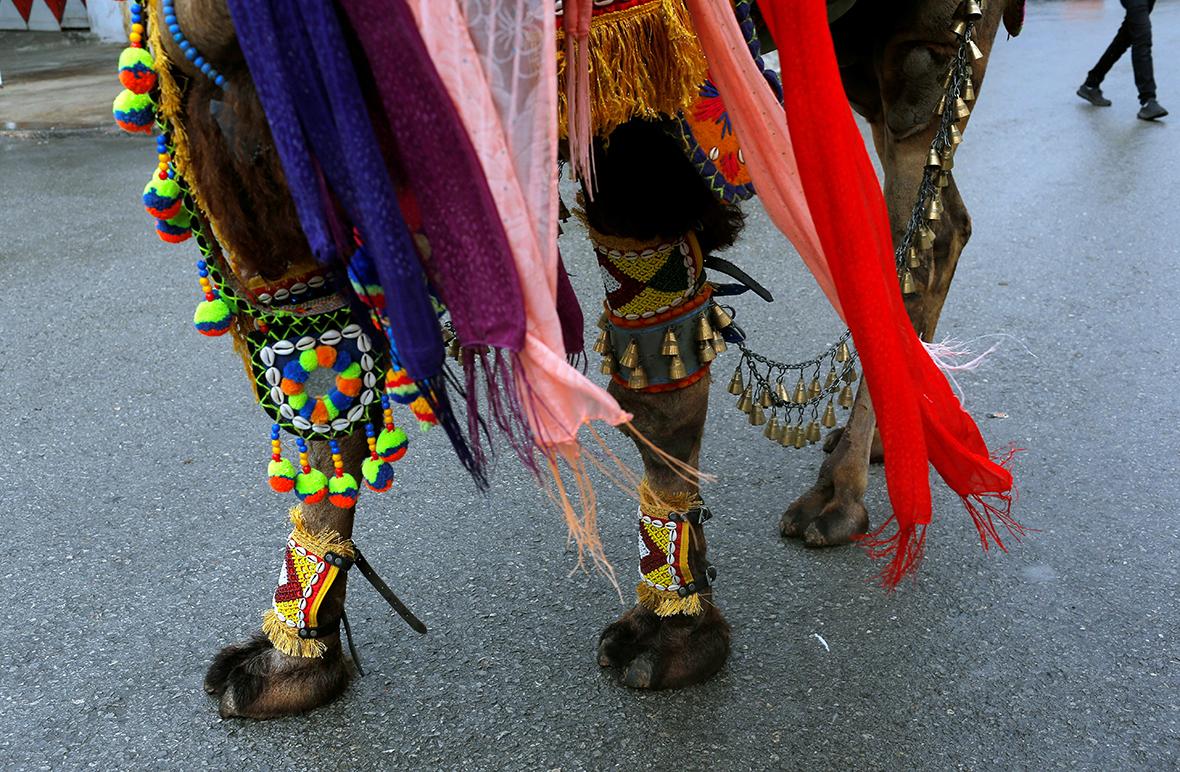 Selcuk-Efes Camel Wrestling Festival