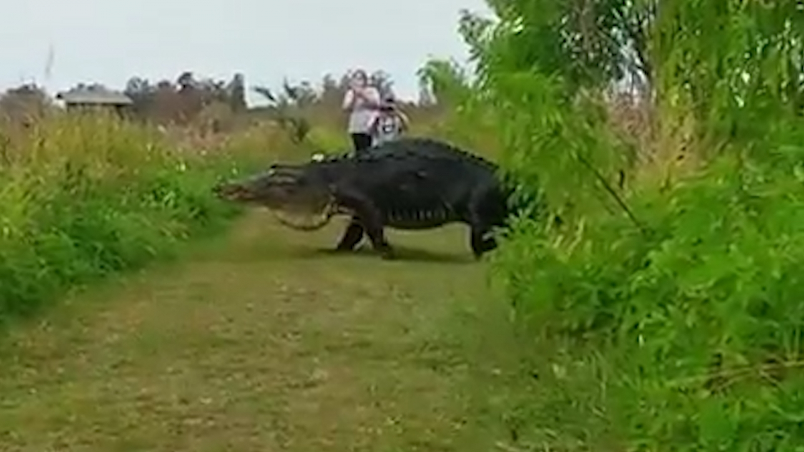 Giant alligator crosses path of tourist