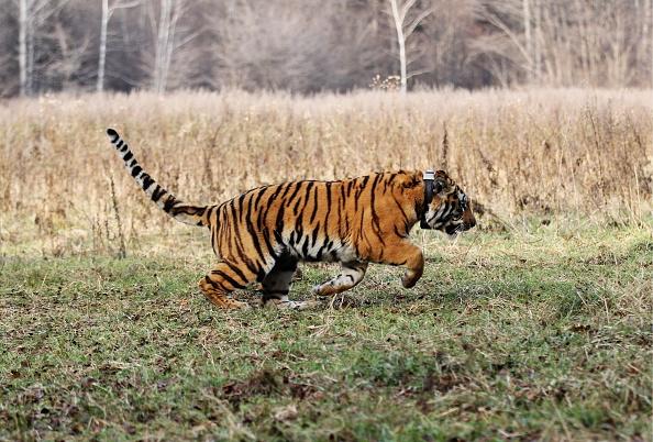 Caspian tigers