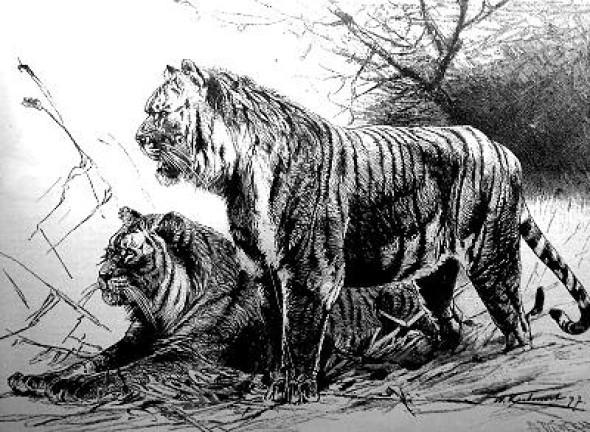 extinct tiger