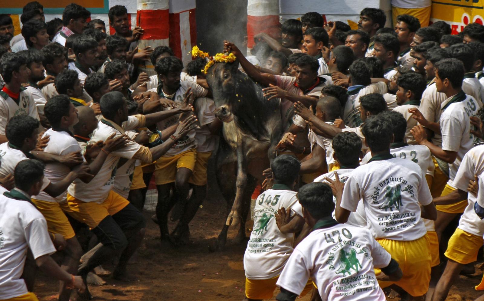 Tamil Nadu jallikattu protests