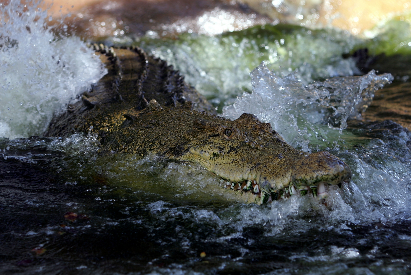 how to rangers find crocodiles in northern territory