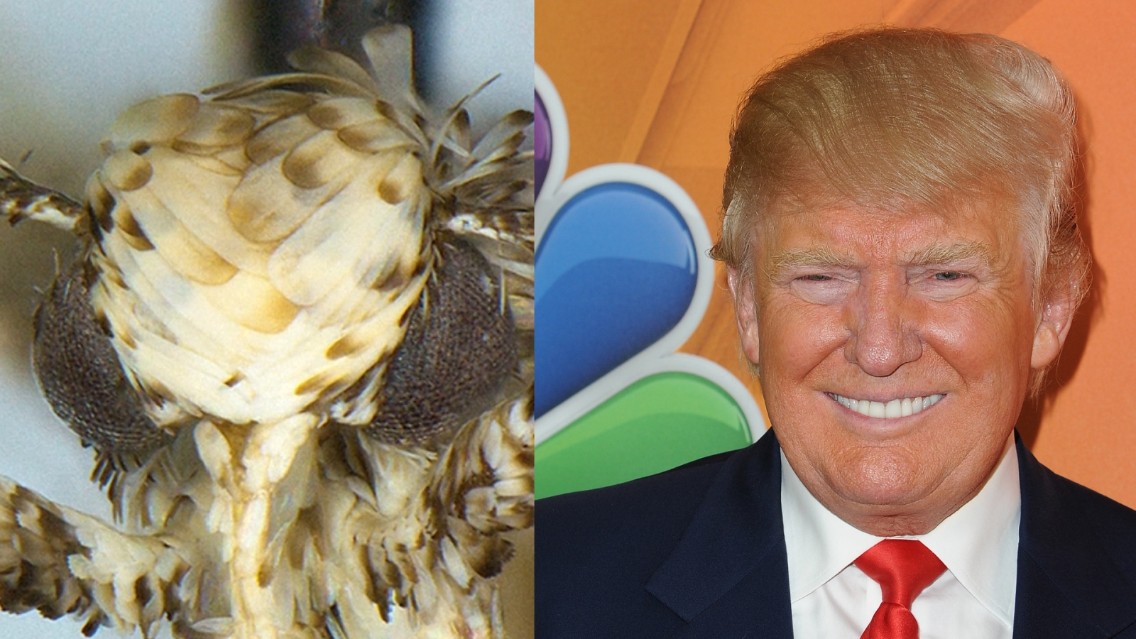 Small moth named after Donald Trump