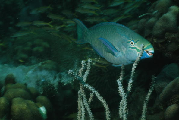 parrot fish coral reef