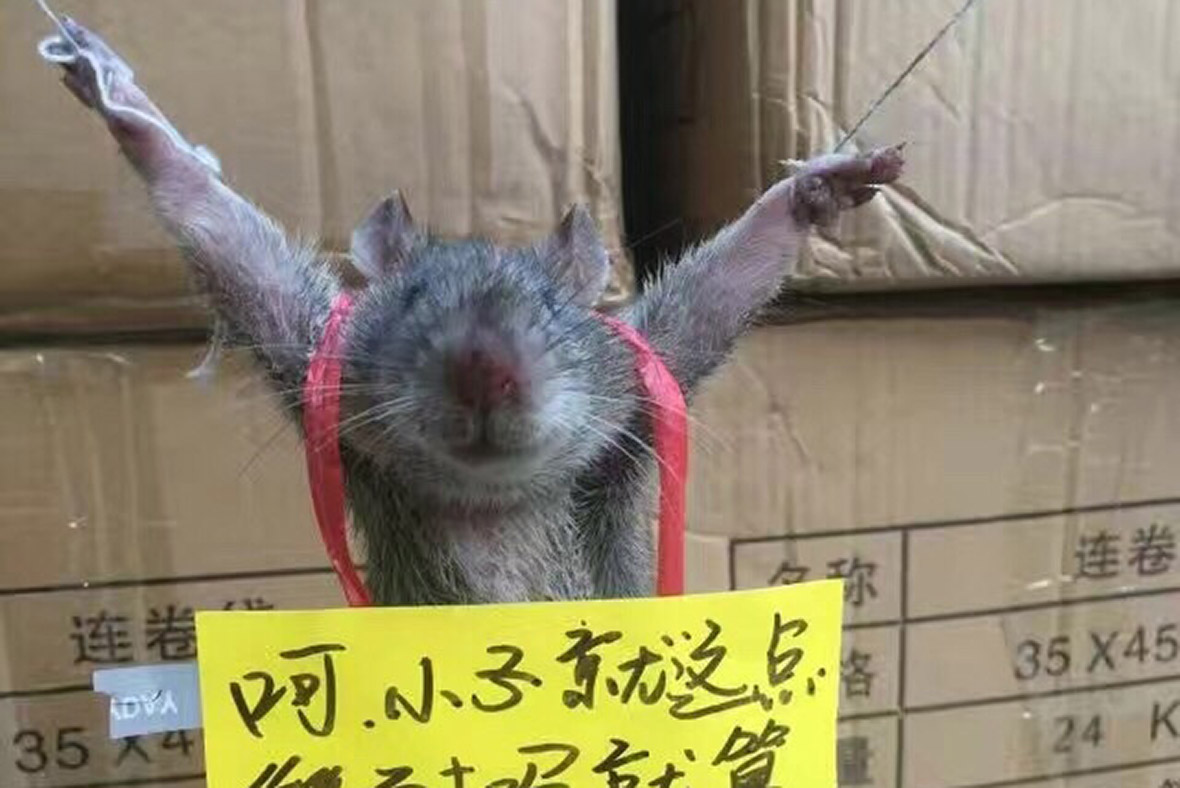 rat tied up China