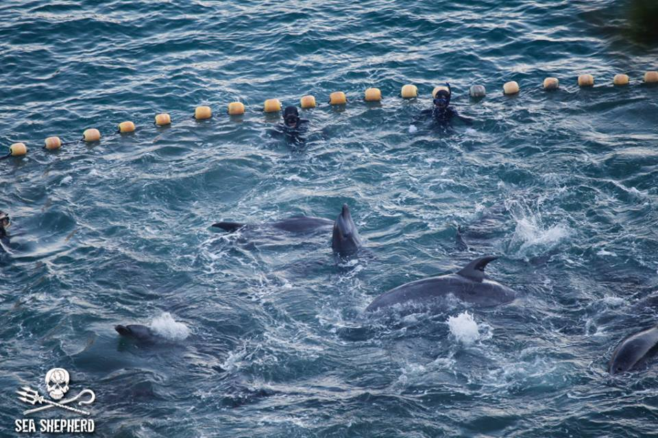 Dolphins trapped in a cove in Taij,Japan