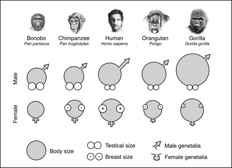 Why Did Humans Evolve Big Penises But Small Testicles-1474