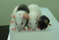 chimera rat mouse