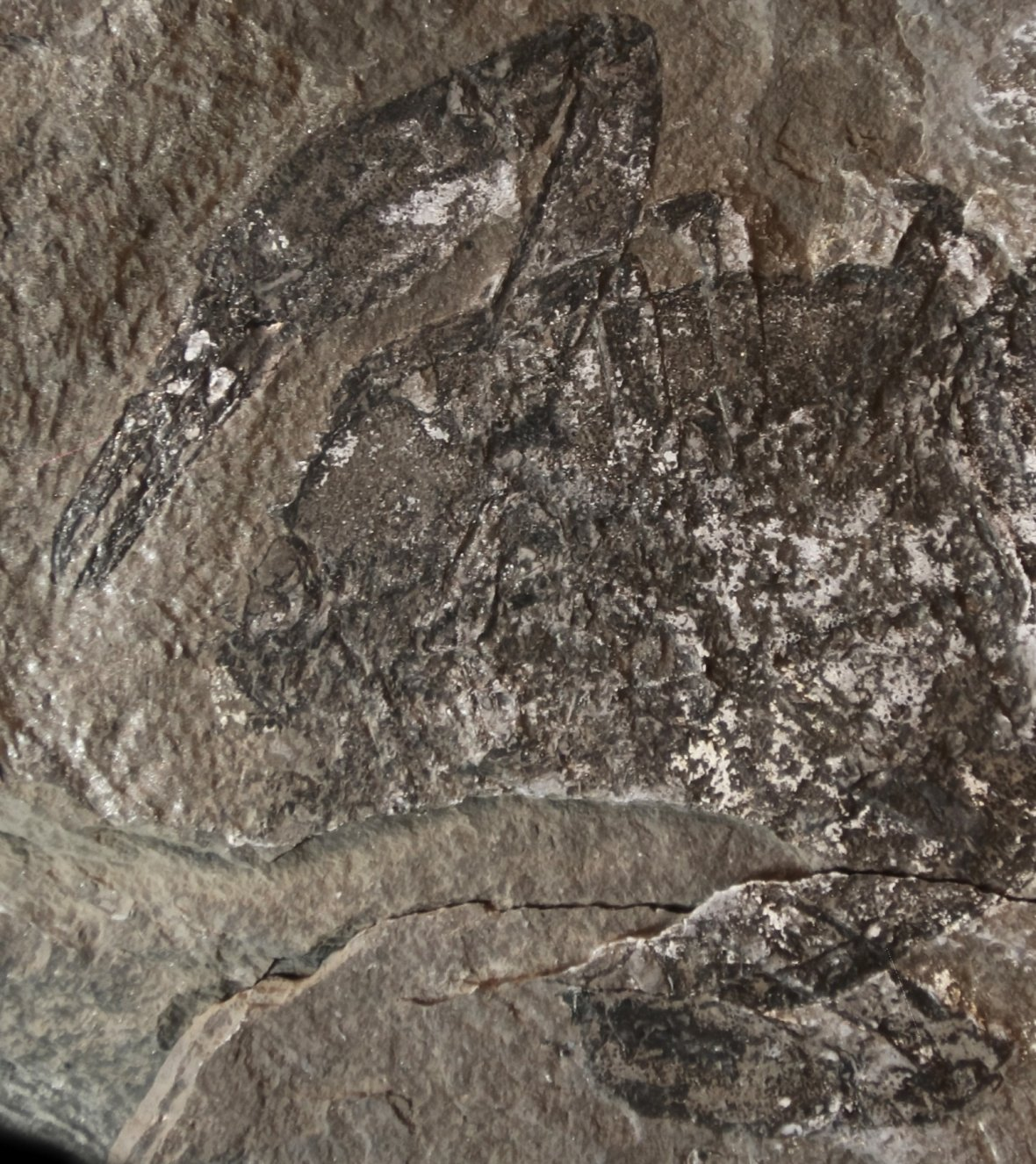Lobster fossil