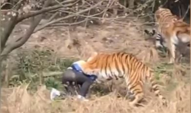 Tigers maul man in Chinese zoo