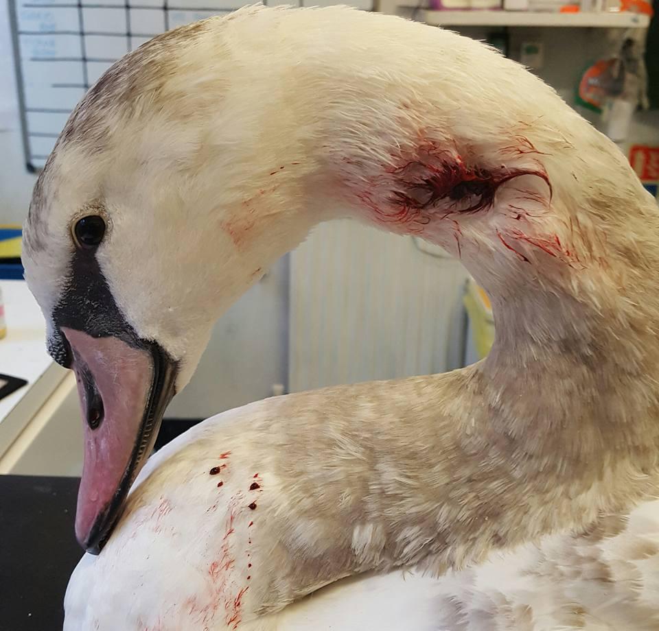 Swan attack Winsdor Castle 1