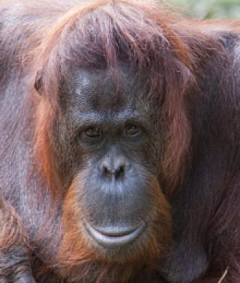 Sandy the orangutan