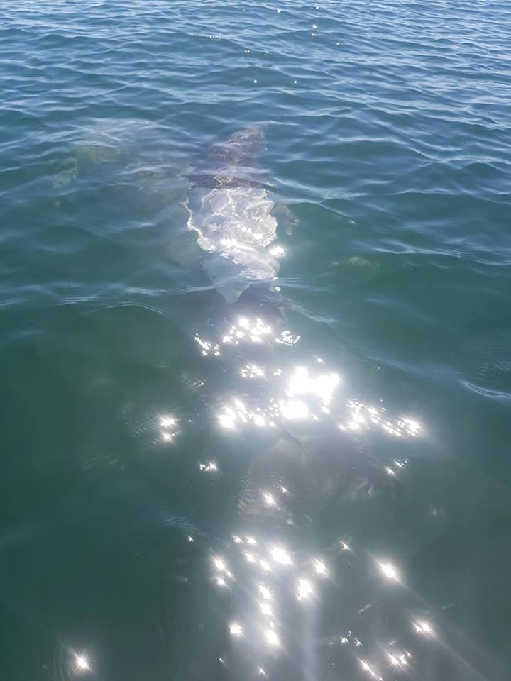 Dolphin t-shirt Australia