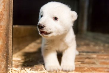 Fritz the polar bear