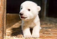 Fritz the polar bear