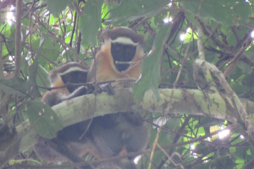 Dryas monkey