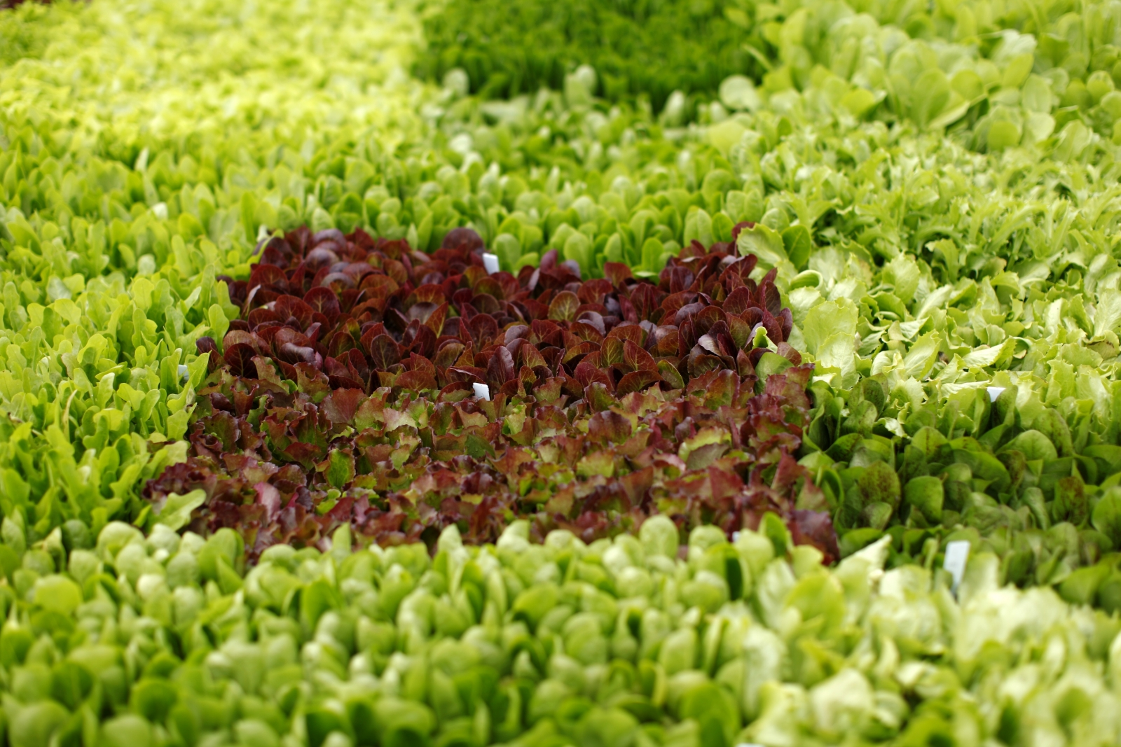 Lettuce shortage
