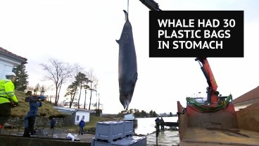 Whale has 30 plastic bags in stomach
