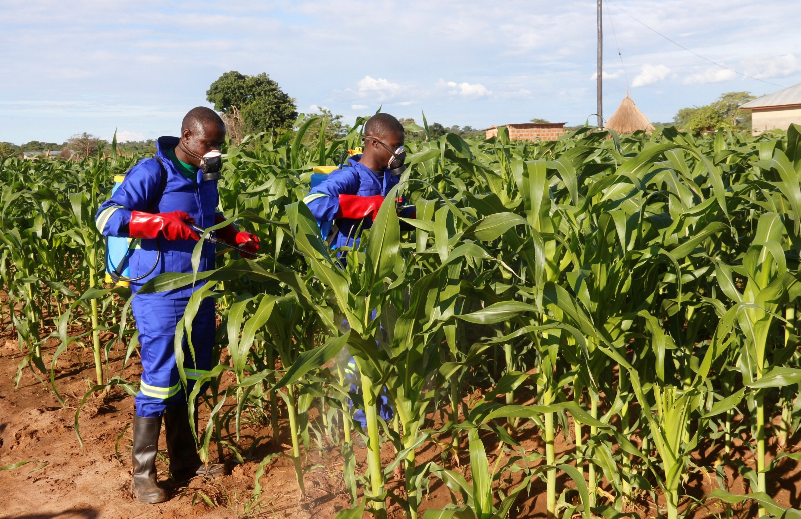 Allien army worm threatens African maize farmers livelihoods