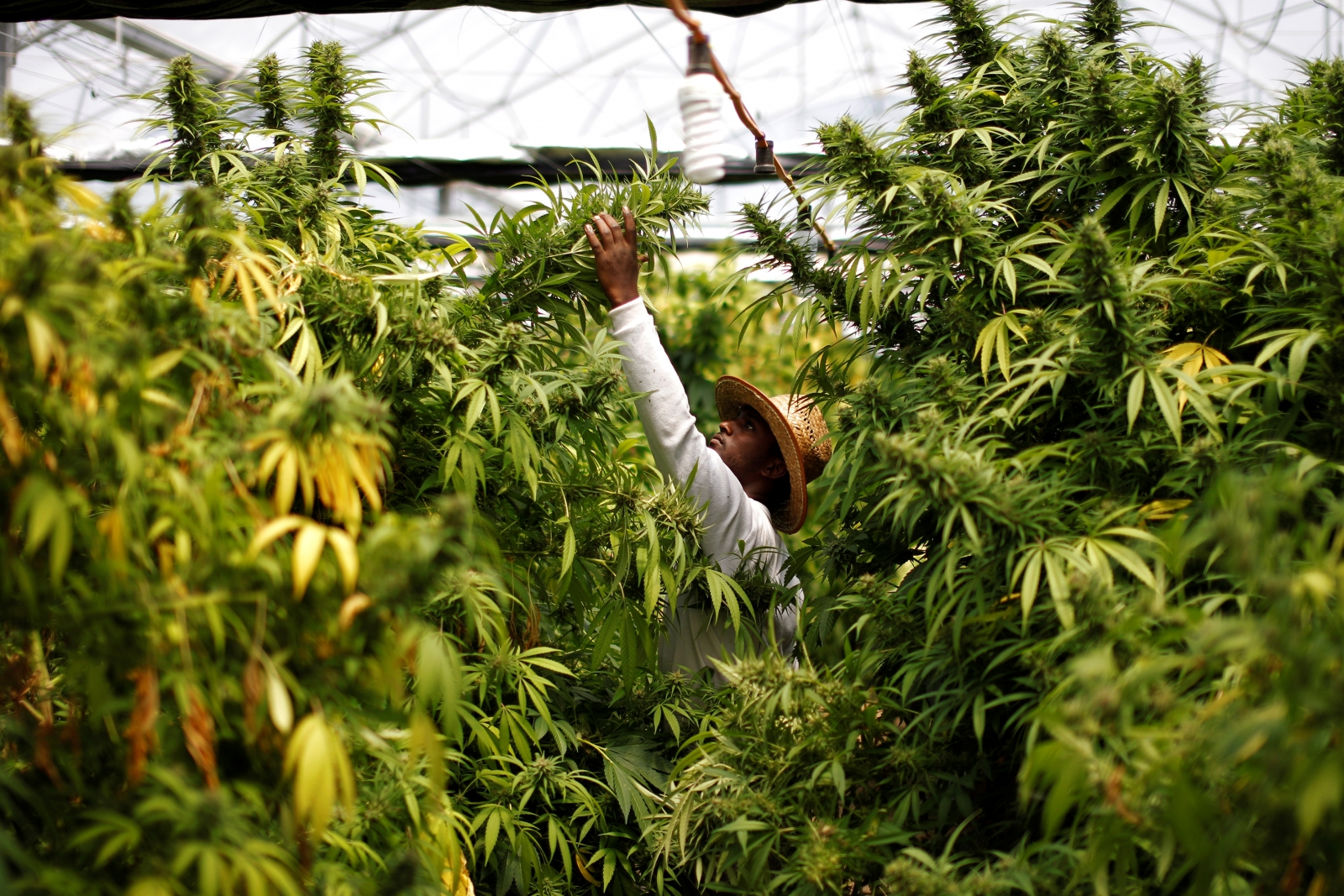 A worker harvests cannabis plants