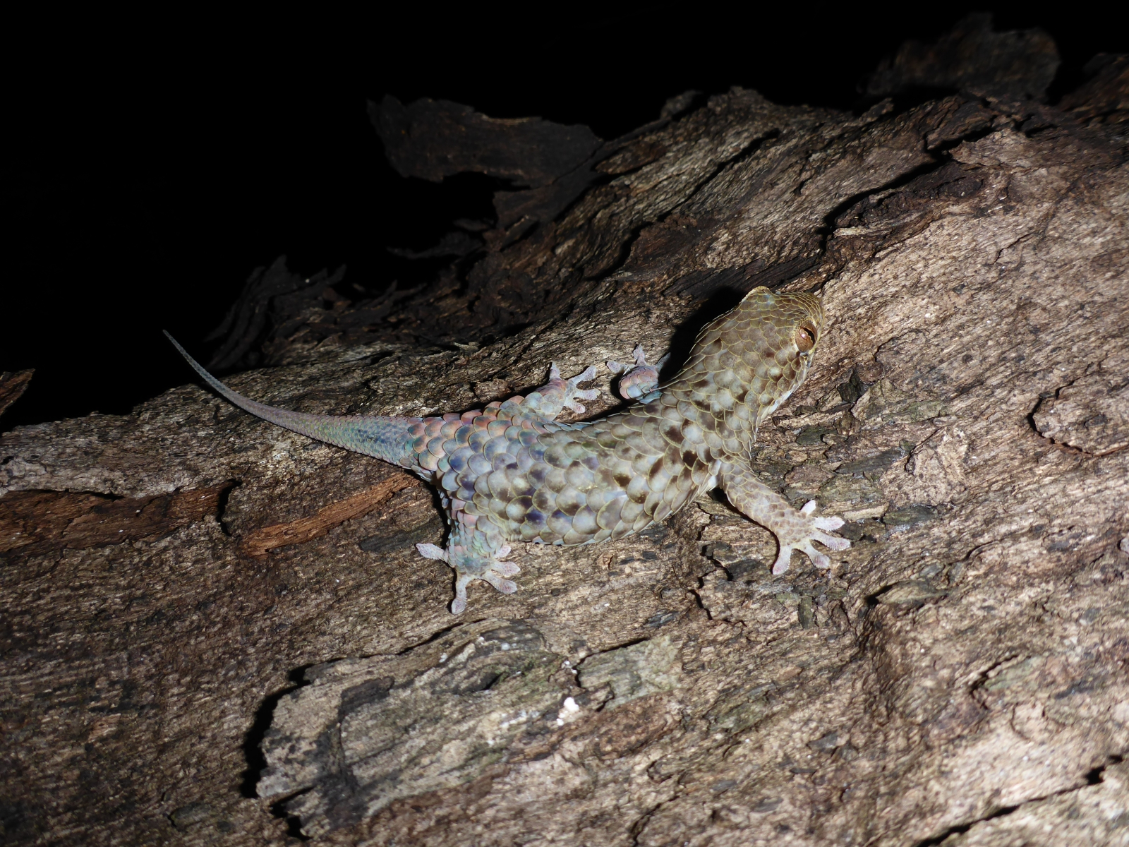 Geckolepis megalepis