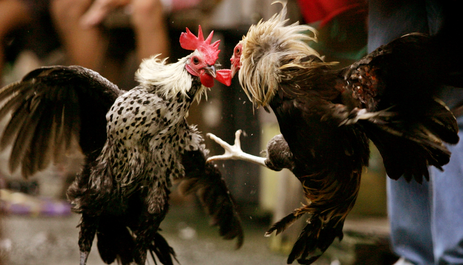 Brutal cockfighting rises to a five-year high