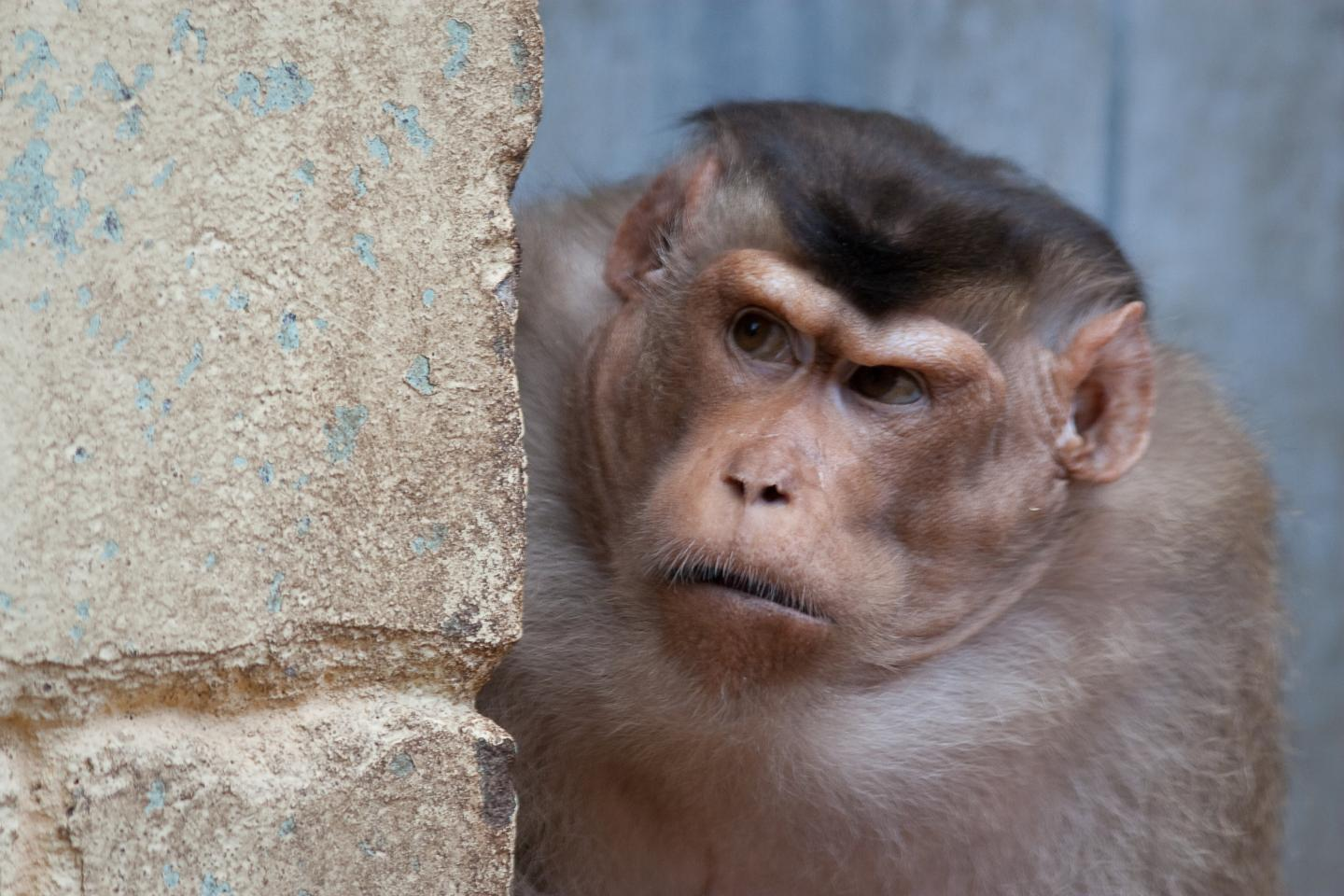 Pigtail macaque