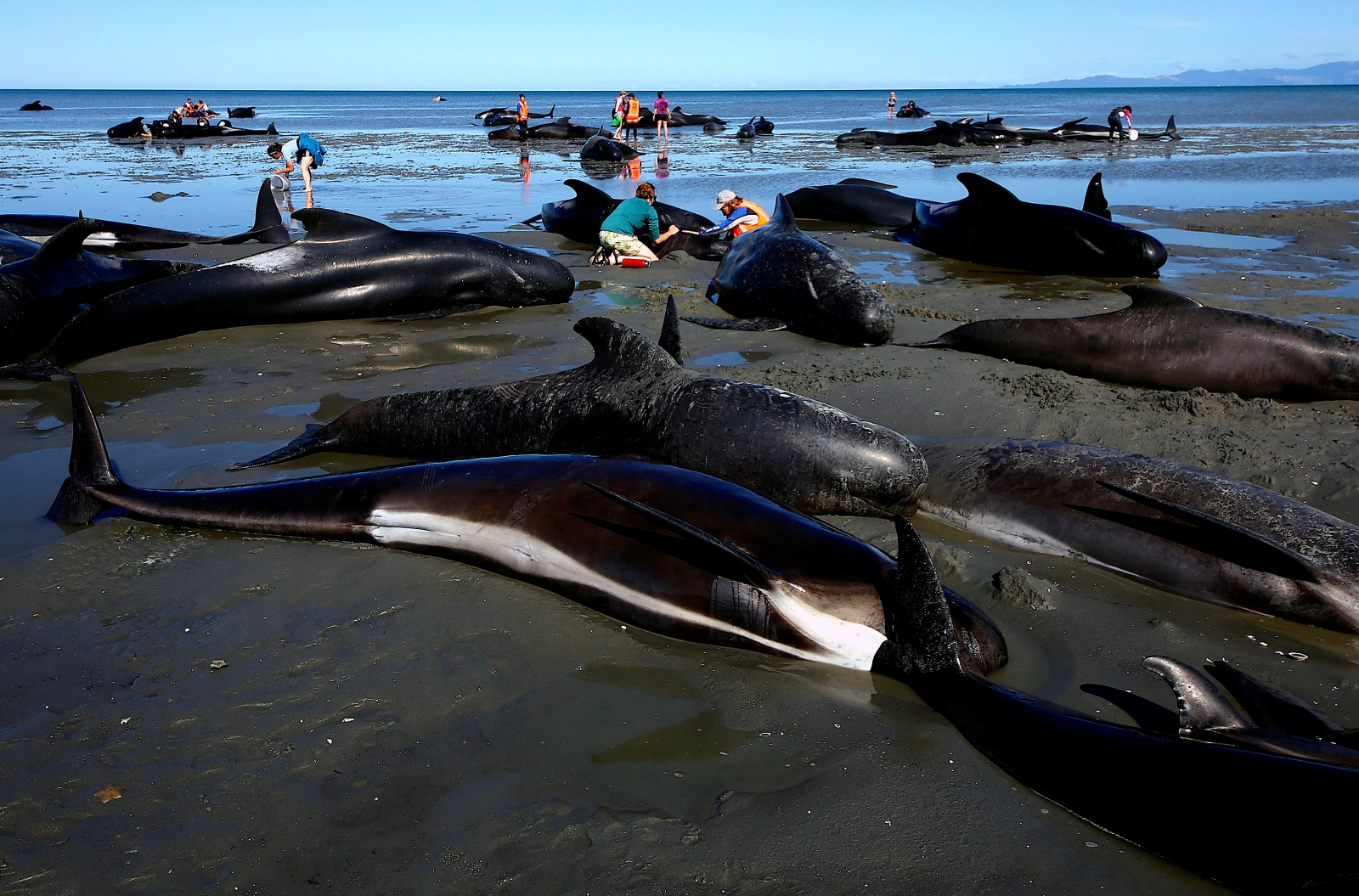 High Tide Comes To The Rescue Of 17 Whales In New Zealand