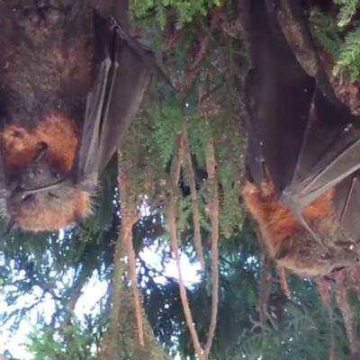 Bats heatwave