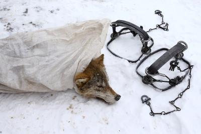 Chernobyl wolves hunting