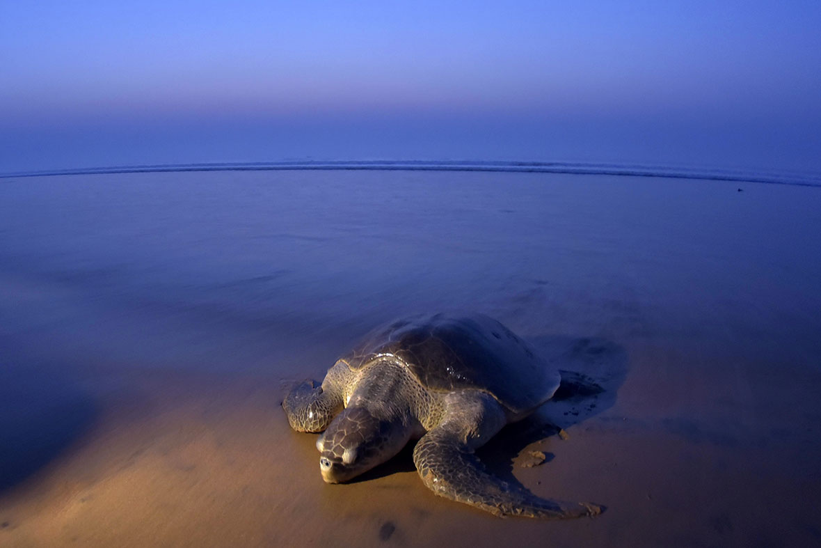 photos of olive ridley sea turtles laying eggs on india u0027s