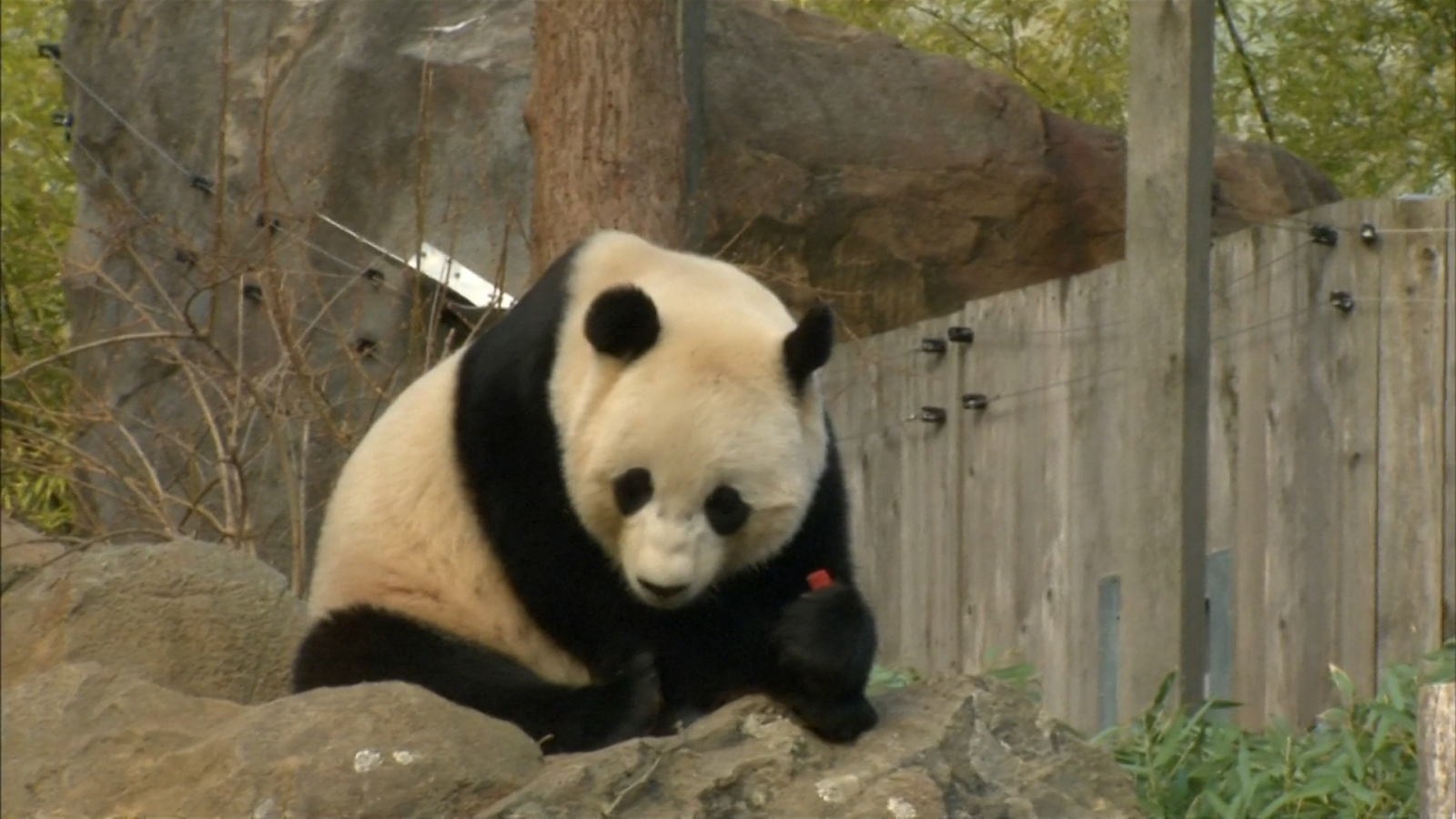 Giant panda Bao Bao heads to new home in China