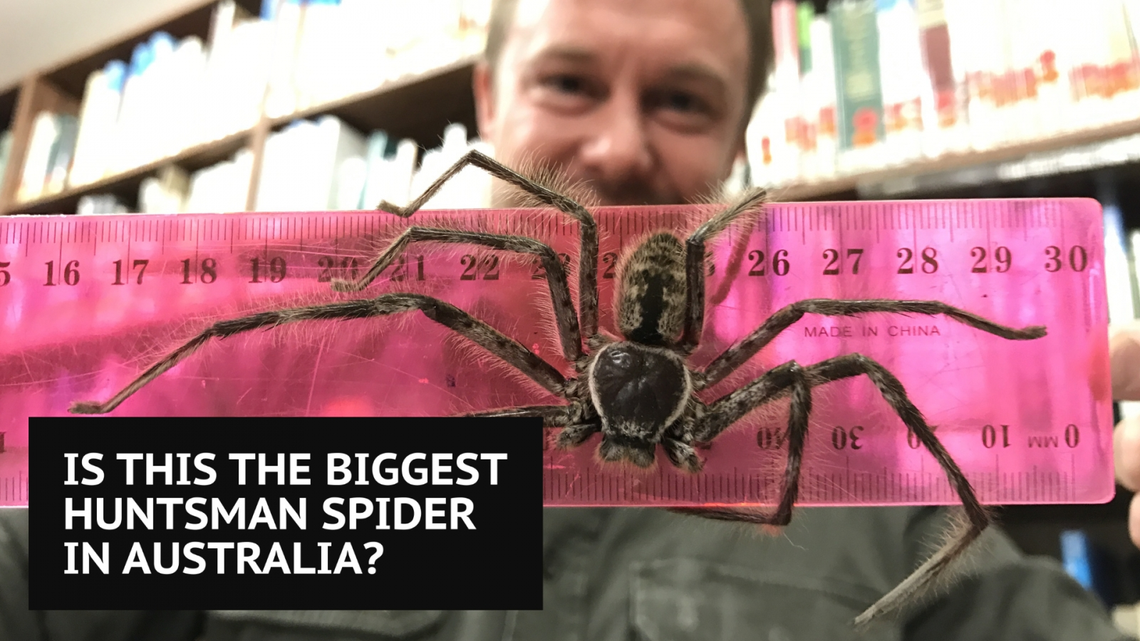 Huntsman spider Australia