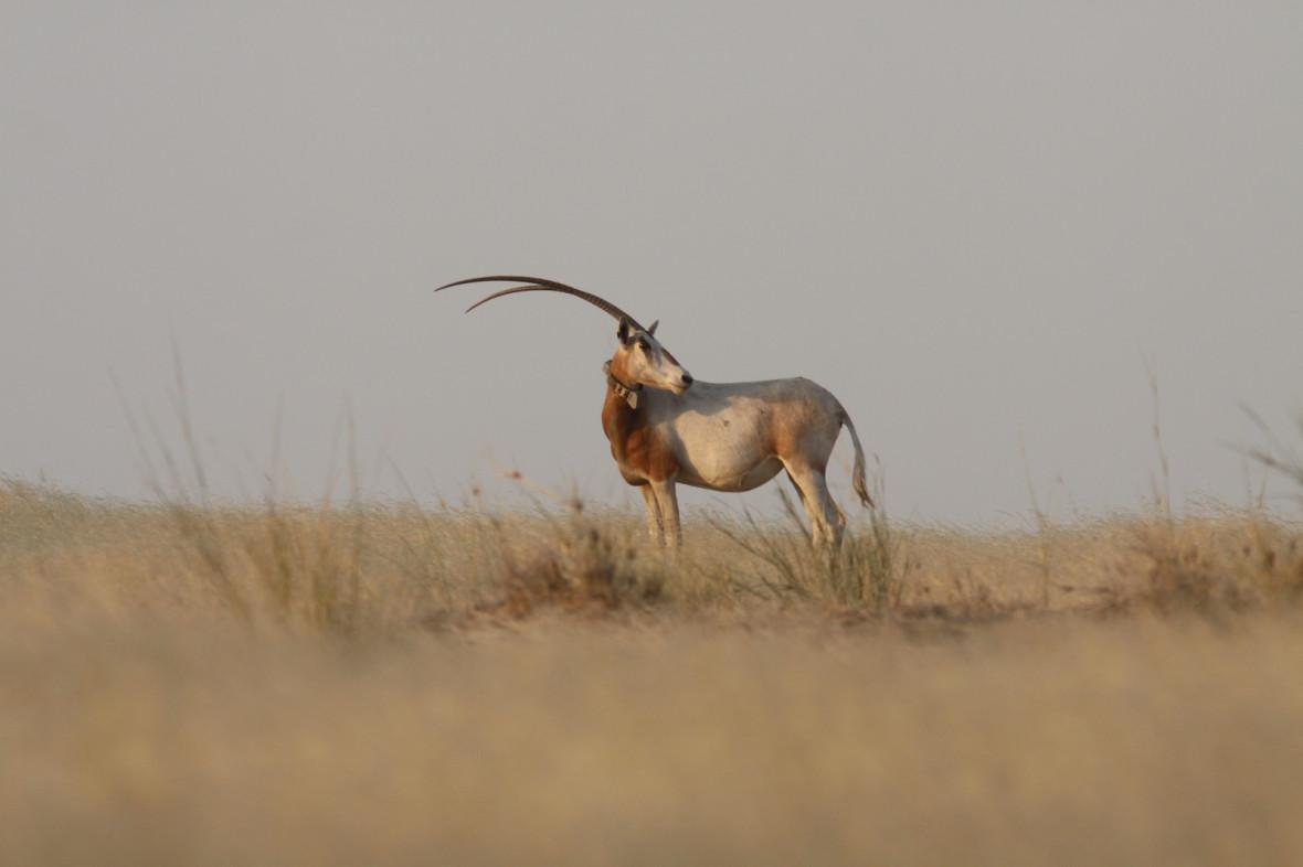oryx extinction